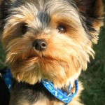 How to Take Care of Morkie Puppies