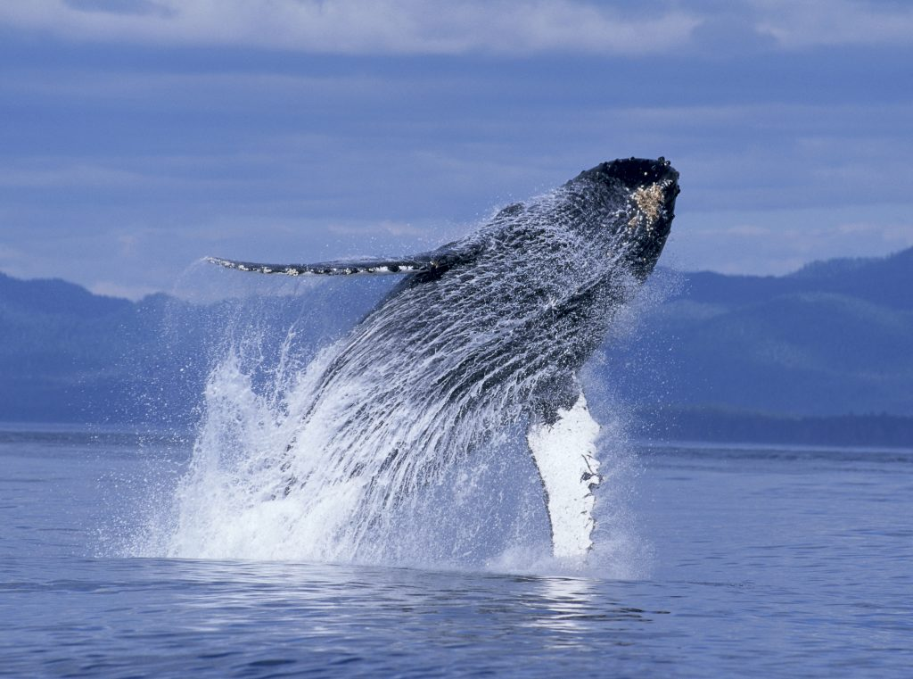 Alaska, Inside Passage, Humpback Whale, breaching (Megaptera novaeangliae) B2003