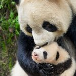 New Clips of DisneyNature BORN IN CHINA #BornInChina