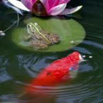 How to Pond and Care for Koi Fish