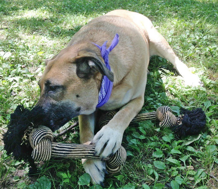 German Shepherd-Lab Mix playing with Monster Size Quadruple Knot Dog Rope Chew Toy