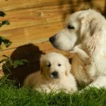 Family Dogs – These Are the 7 Best Breeds for Kids
