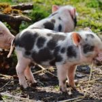 Encouraging Weaning in Piglets Using Creep Feeding